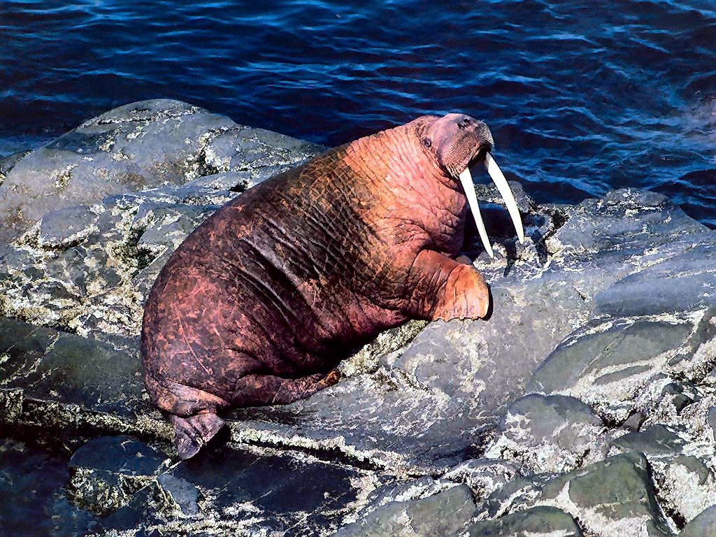photograph of a walrus