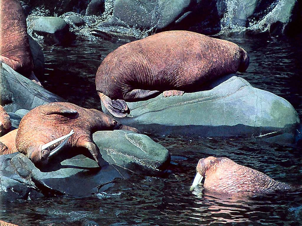photograph of walruses